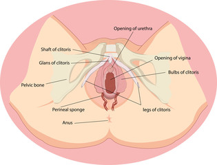 vulva anatomia